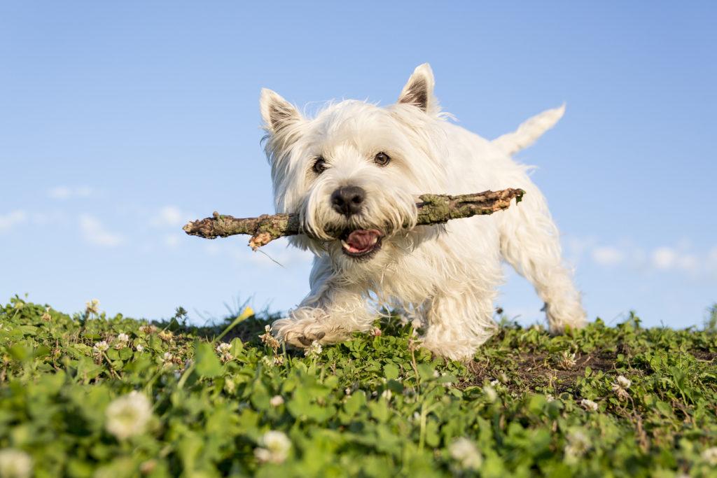 West Highland White Terrier1