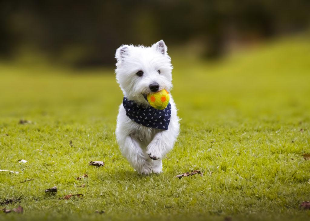 West Highland White Terrier2