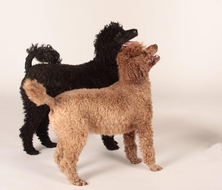 Caniches nains noir et marron