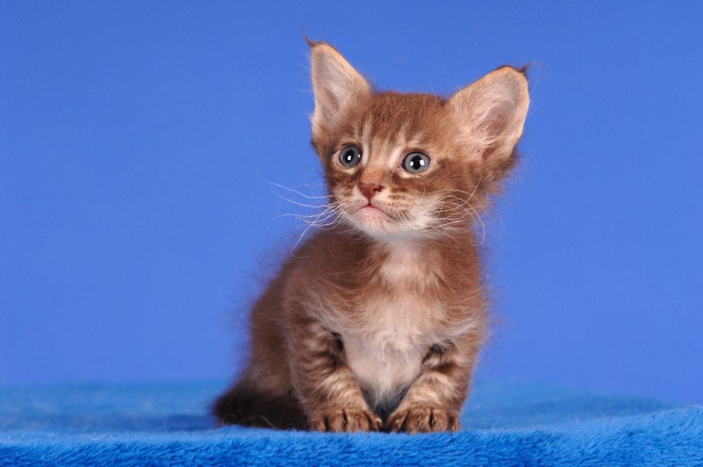 chaton LaPerm sur un fond bleu