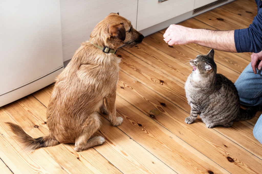 Le bras d'un maître tient de la nourriture en l'air entre son chien et son chat
