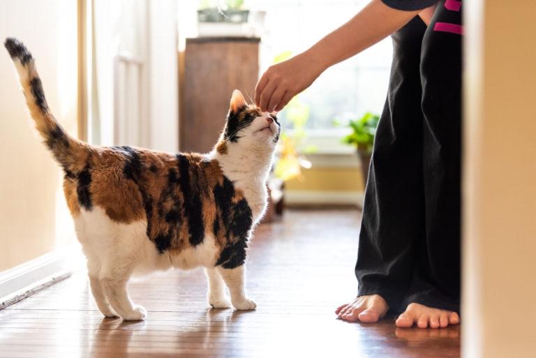 Un chat qui attrape une friandise dans la main de son maître