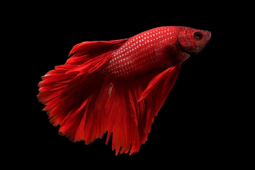 poisson combattant du Siam sur fond noir