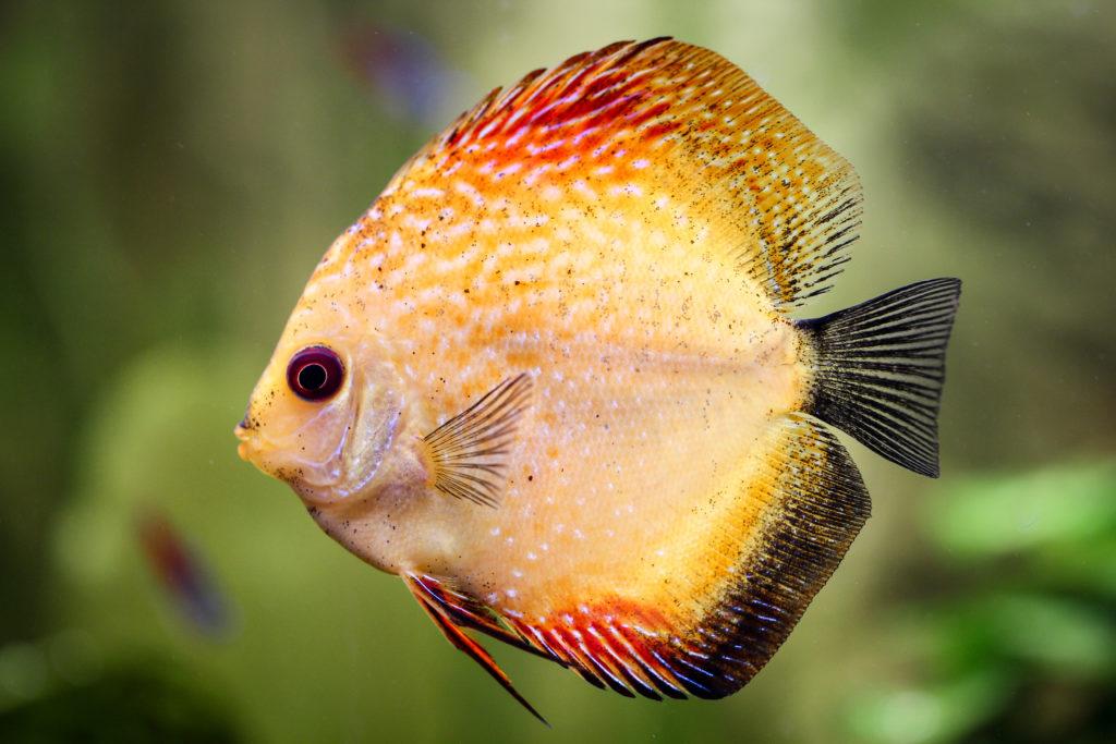 poisson discus nage au premier devant des lantes floues