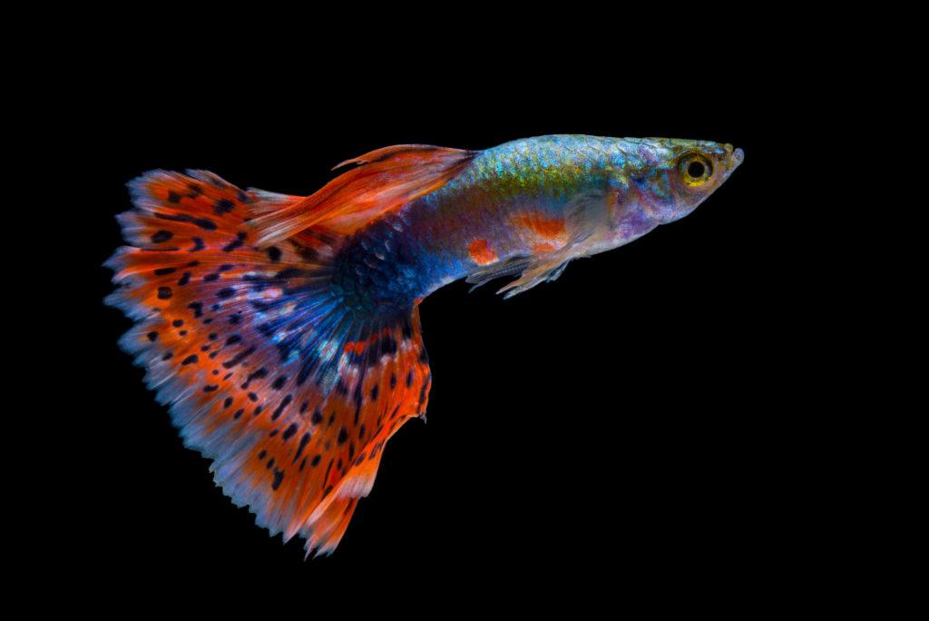 poisson guppy rouge et bleu sur fond noir