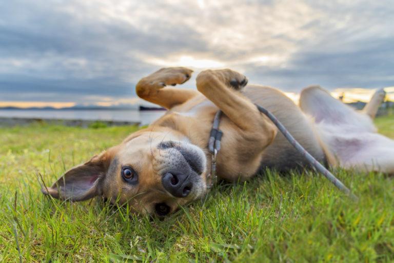 chien berger allemand qui se roule dans l'herbe sous un ciel nuageux ou le soleil commence à se coucher