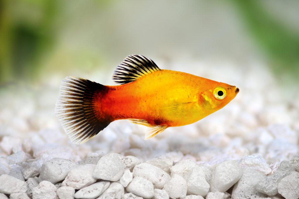 poisson platy orange nage au fond de l'aquarium au-dessus de petits caillous