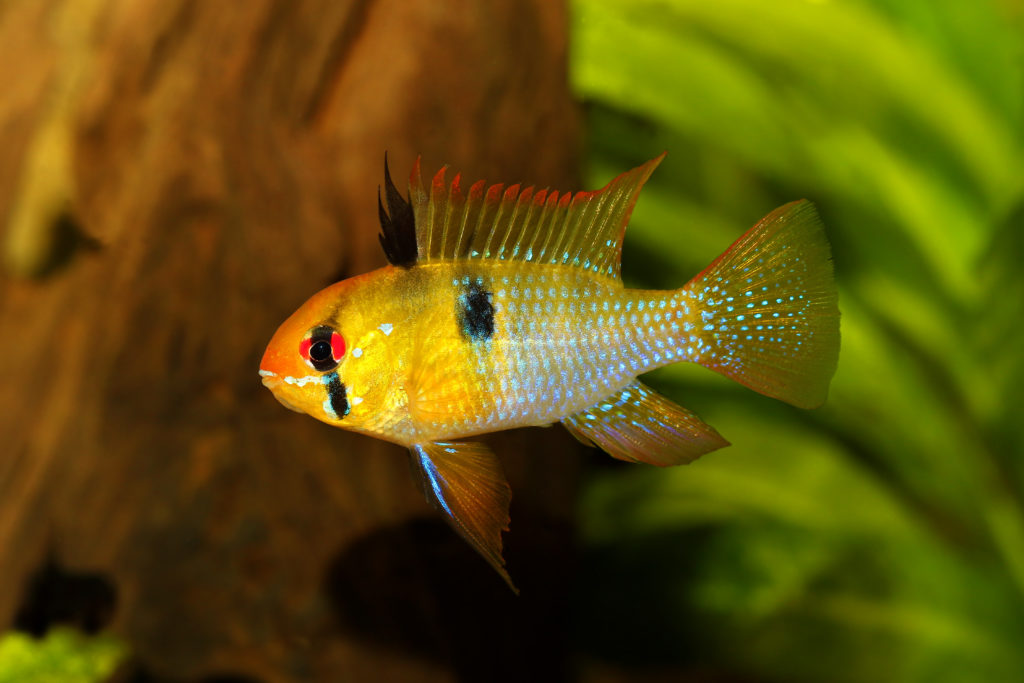 poisson ramirezi qui nage dans son aquarium
