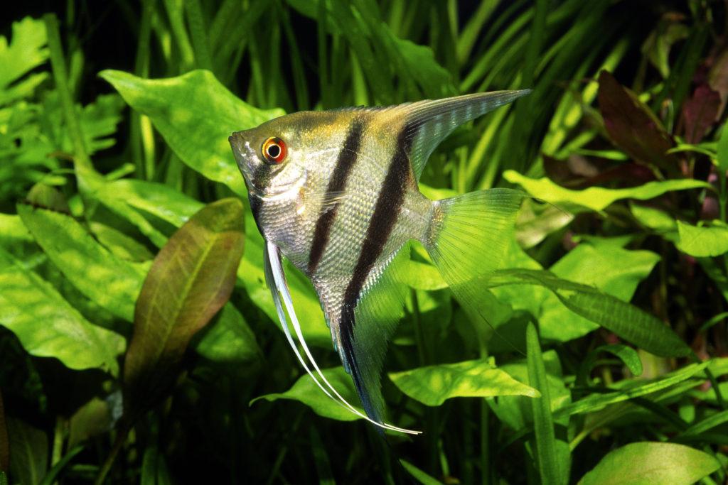 poisson scalaire nage dans l'aquarium devant des plantes