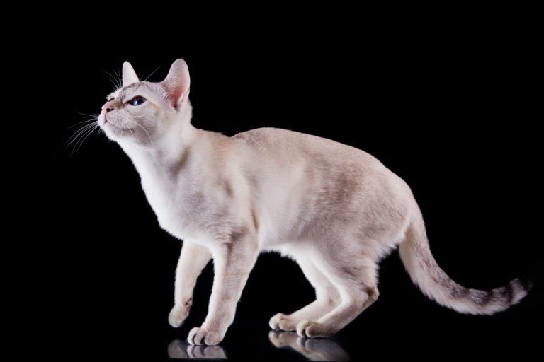 chat tonkinois blanc sur fond noir