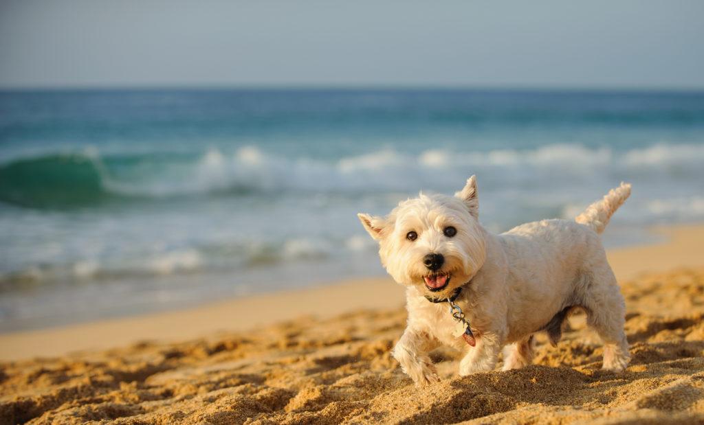 Westie en train de marcher sur le plage devant la mer