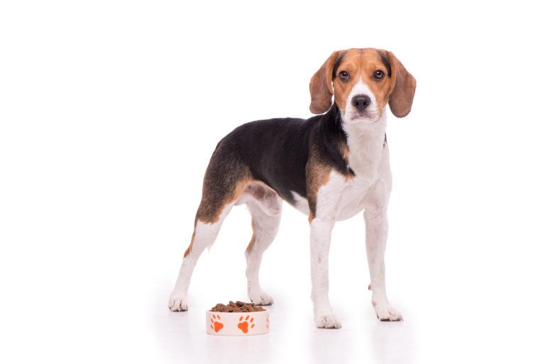 Beagle debout près de sa gamelle