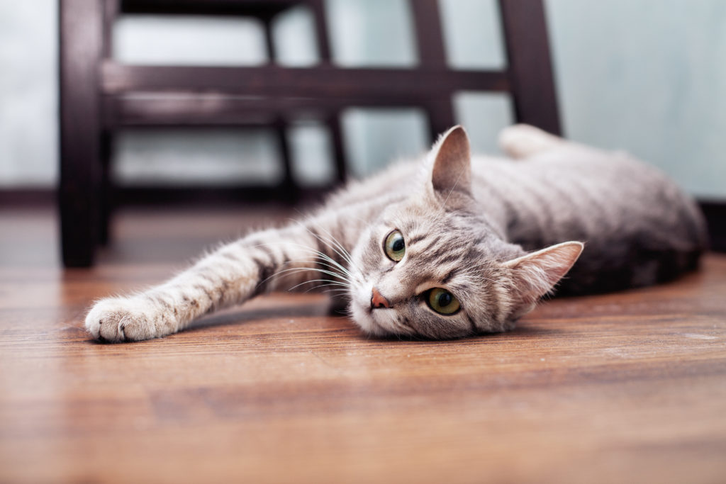 Chat gris allongé sur le parquet
