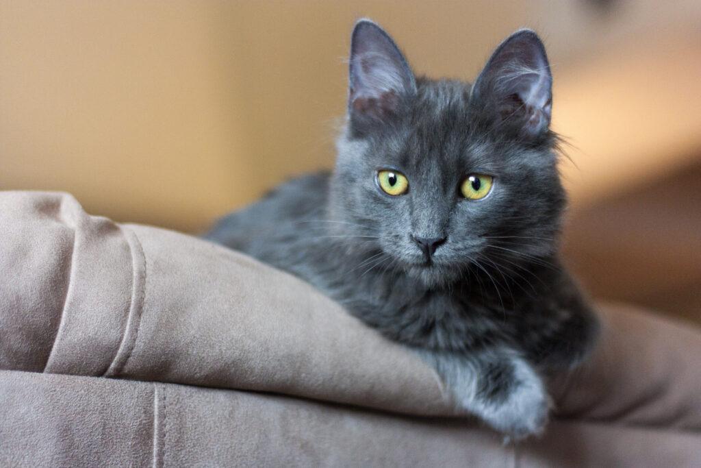chaton nebelung aux reflets argentés