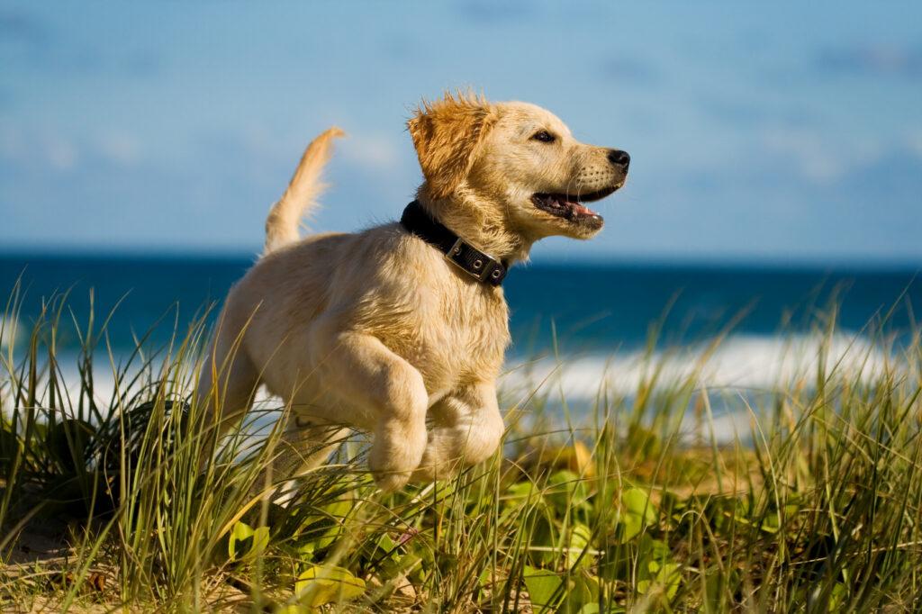 Un chiot labrador s'amuse à la plage.