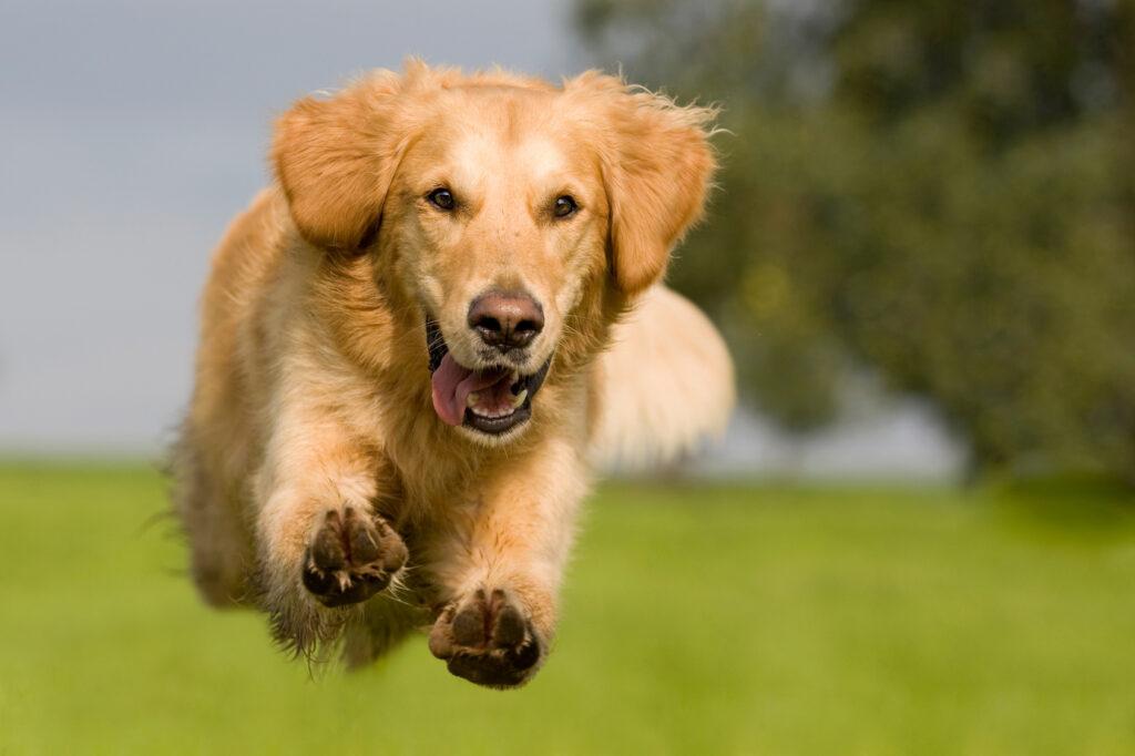 Golden retriever qui saute dans un pré.