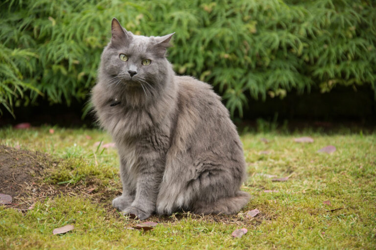 beau chat nebelung assis dans l'herbe