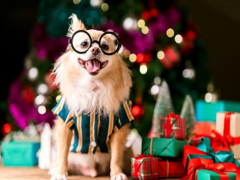 Chihuahua heureux entouré de cadeaux de Noël