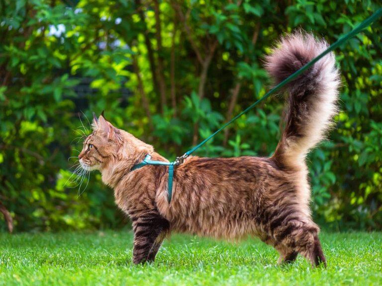 Chat maine coon en laisse dans le jardin