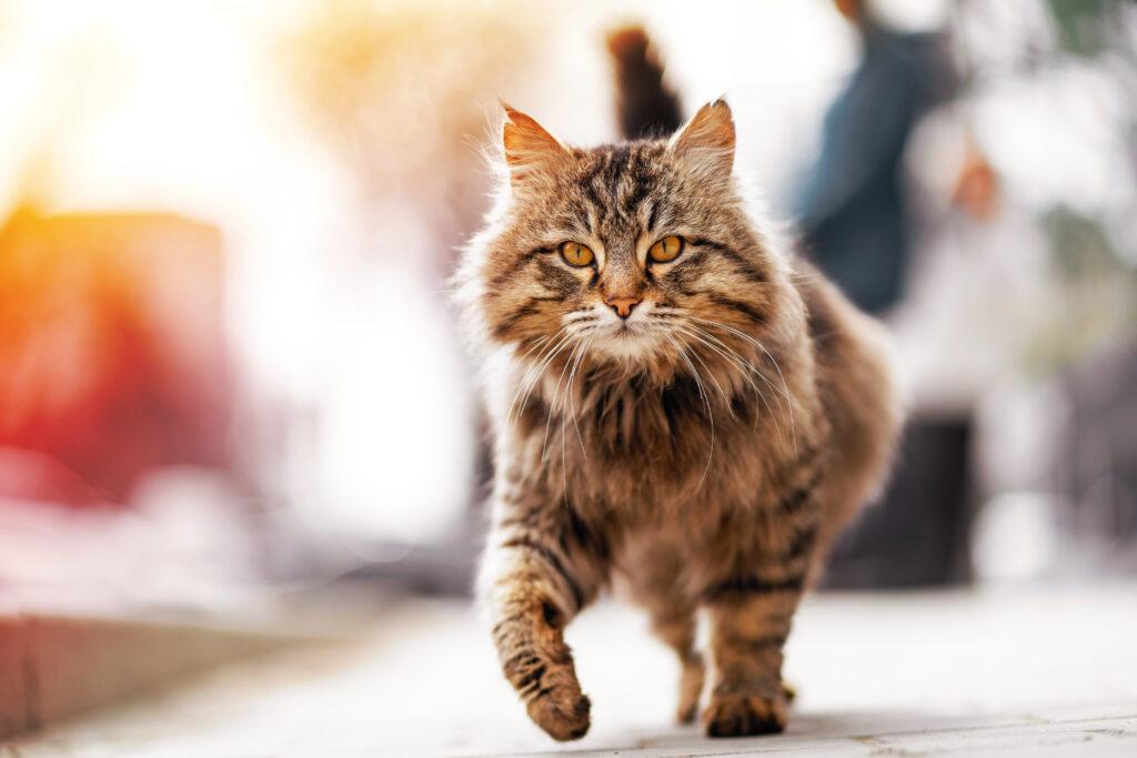 chat errant qui marche tristement