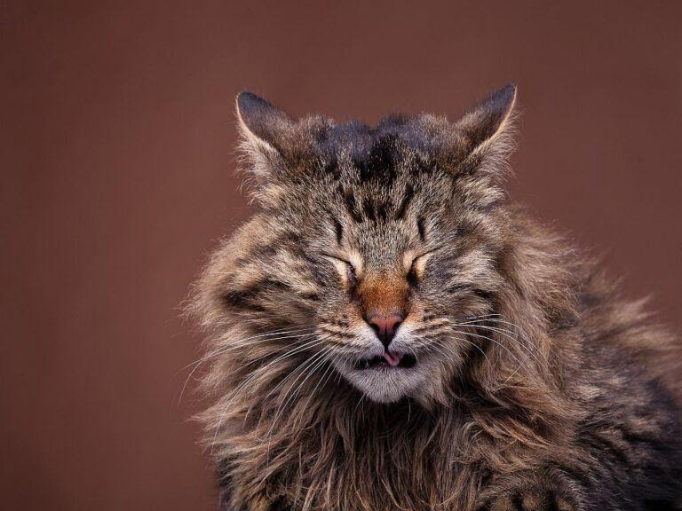 un chat maine coon éternue