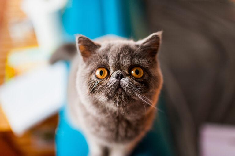 plan rapproché sur le visage typique d'un chat exotic shorthair