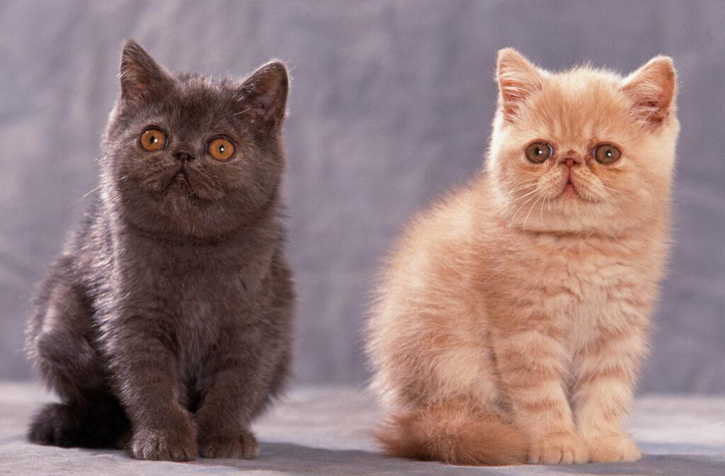 chatons exotic shorthair gris et roux assis en studio l'un à côté de l'autre