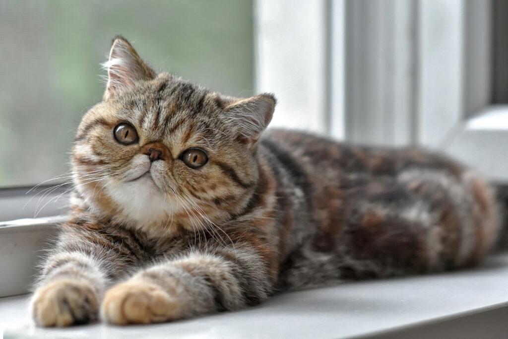 Un exotic shorthair marbré est allongé au bord de la fenêtre et regarde l'objectif