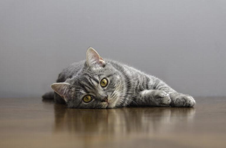 chat malade allongé sur une table