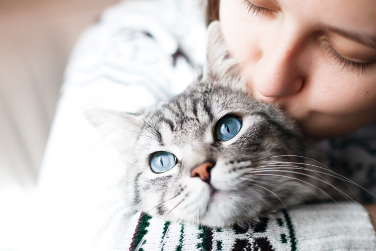 un beau chat tigré aux grands yeux bleus se fait câliner par sa propriétaire