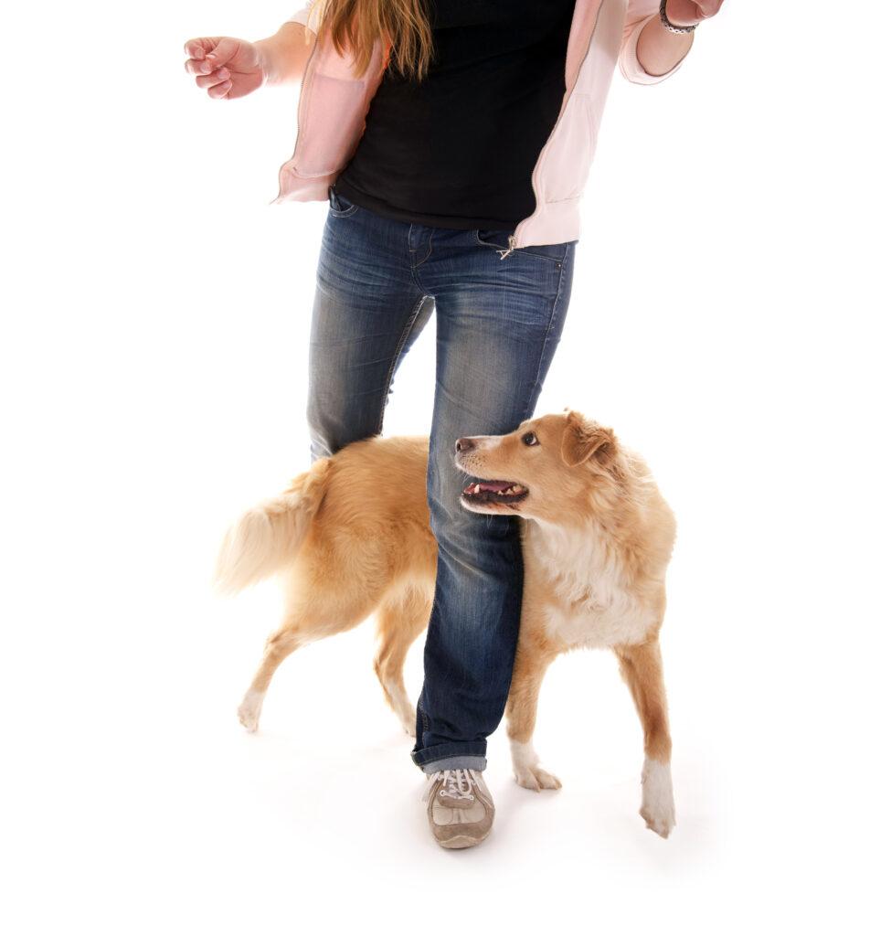 un chien slalome entre les jambes de sa maîtresse