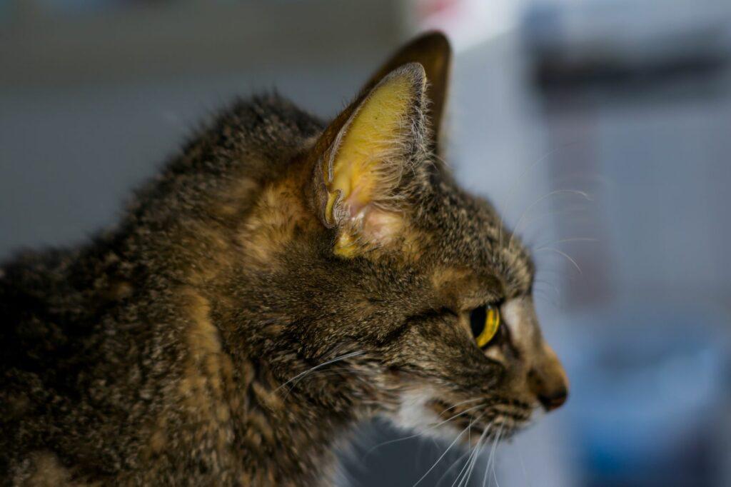 Jaunisse : Muqueuse jaunâtre d'un chat infecté par le FIP.