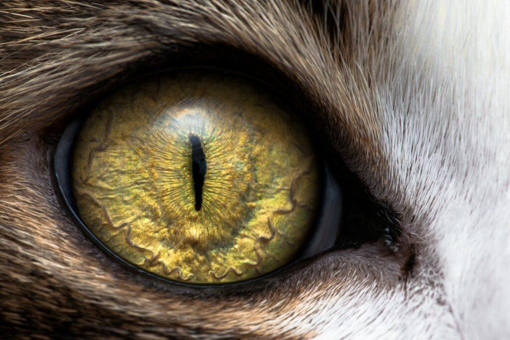 la vision du chat