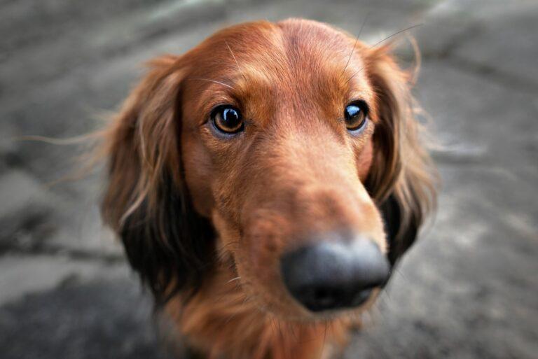 que voient les chiens