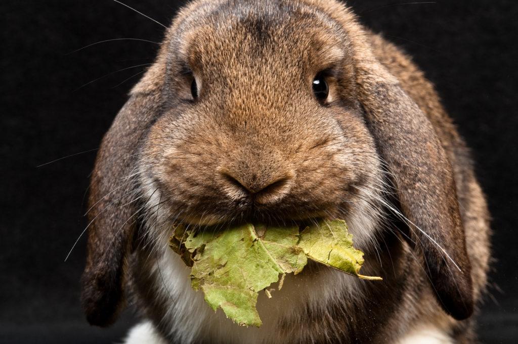 alimentation du lapin