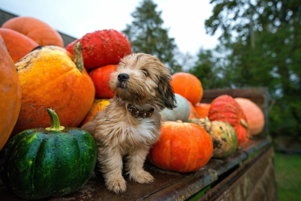 petit chien au milieu des citrouilles