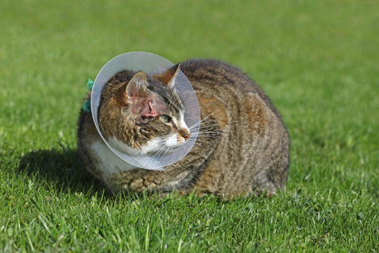 Chat avec un abcès portant une collerette après un abcès du à une morsure par un autre chat. La collerette sert à bloquer le chat pour ne pas qu'il se lèche.