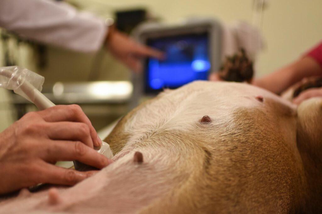 un examen échographique peut diagnostiquer une insuffisance rénale chez le chien