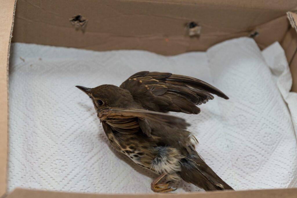 un oiseau blessé dans une boîte en carton