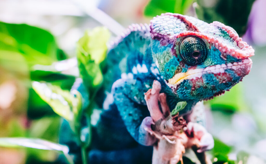 un caméléon bleu dans son milieu naturel