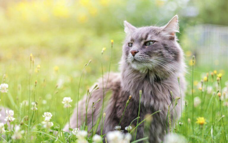 un chat gris entouré de pollen qui provoque l'asthme du chat