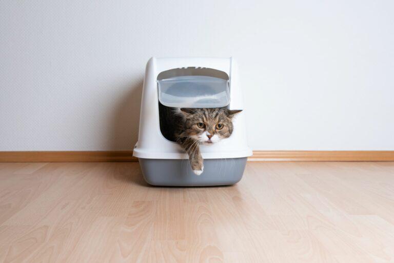chat sortant de la litière avec du sang dans les urines