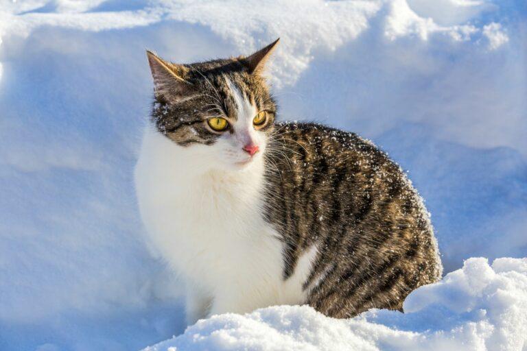 un chat bicolore dans la neige en hiver