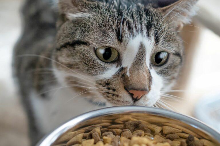 un chat regarde de la nourriture pour chat dans sa gamelle