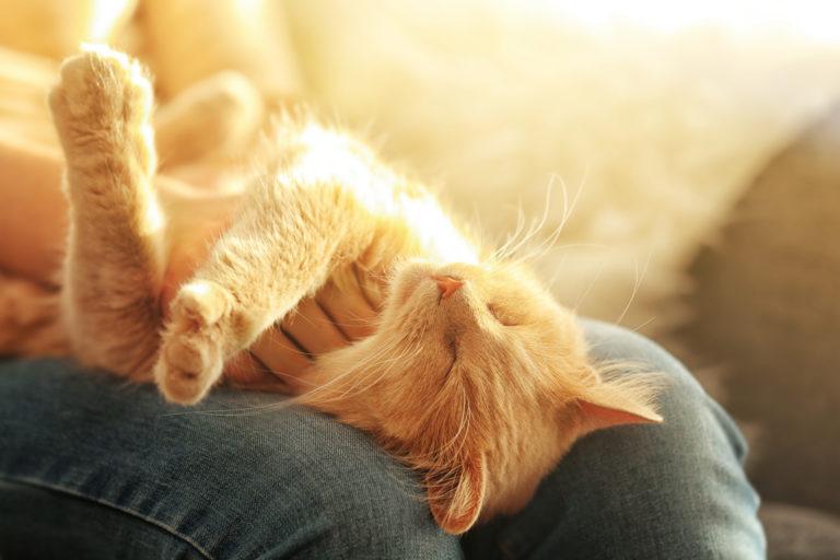 chat roux allongé