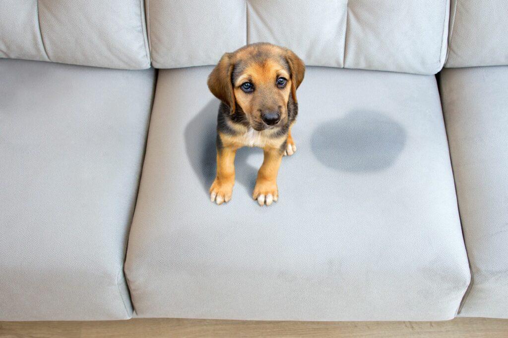 comment bien se débarasser de l'odeur de l'urine du chien