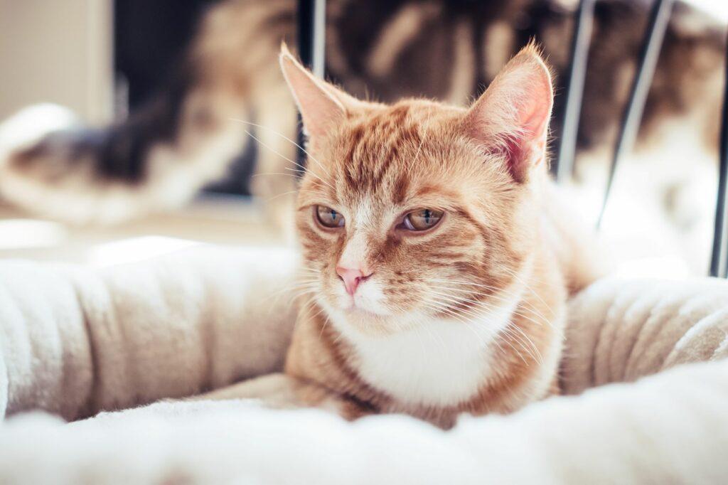 chat roux qui fait la sieste sur une couverture blanche
