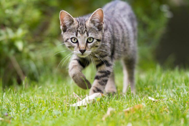 il faut prendre quelques précautions avant de laisser sortir un chat