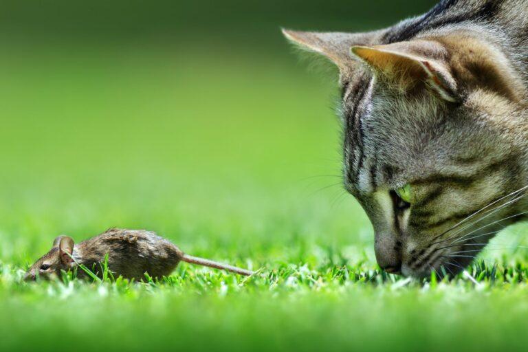 le vermifuge empêche le chat d'attraper des vers en ingérant une souris