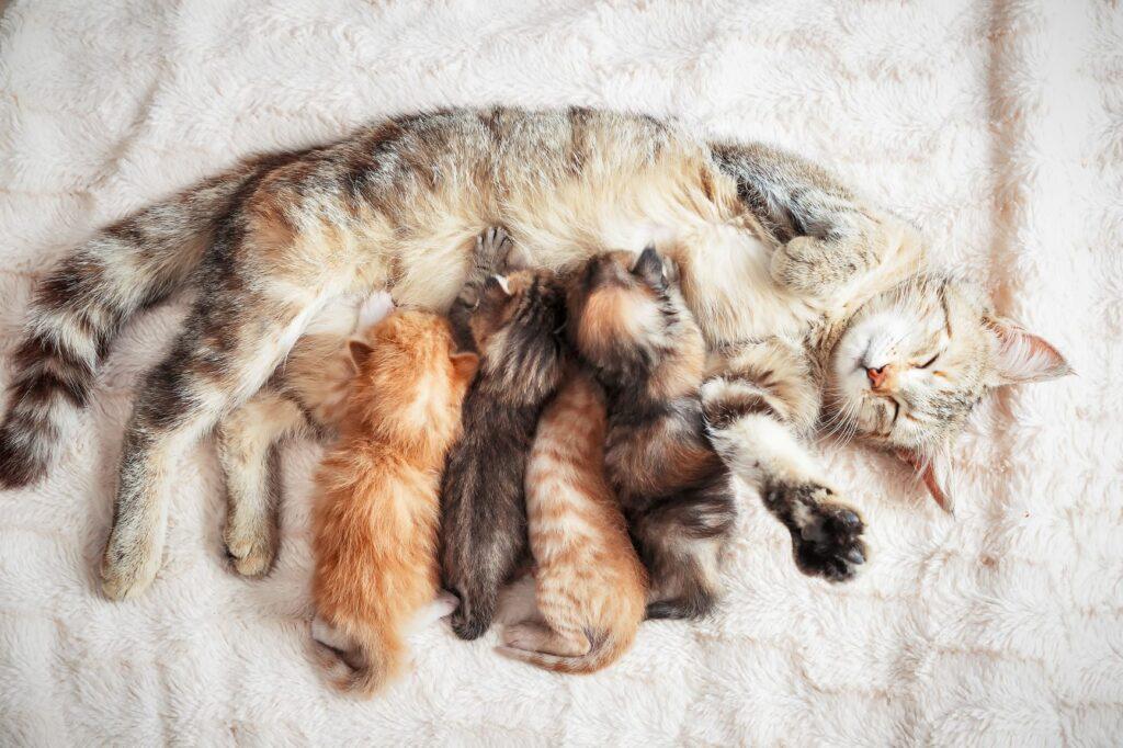 le vermifuge empêche à la chatte de transmettre des vers aux chatons via le lait maternel